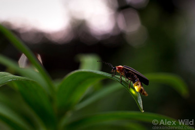 When a female Photinus pyralis firefly spots a male's signal, she signals back with a quick flash.  Urbana, Illinois, USA