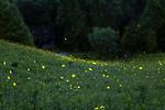 Fireflies at Norton Creek Ranch