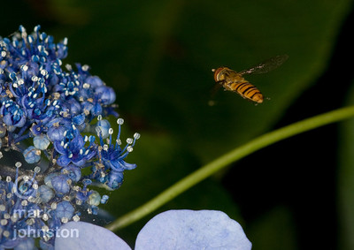 A hoverfly seems to remain fixed in position near this Hydrangea flower.
