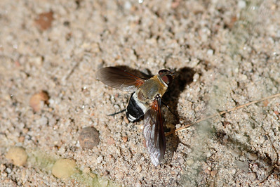 Common Ligyra Bee Fly