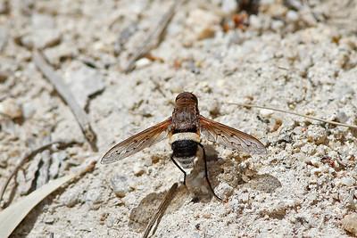 Ligyra Bee Fly