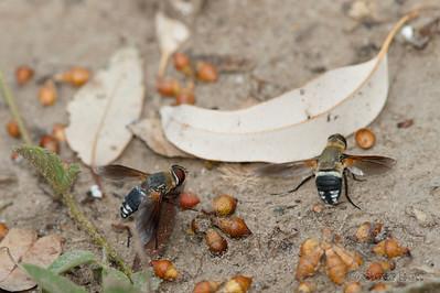 Common Ligyra Bee Flies