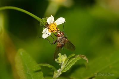Tachnid Fly?