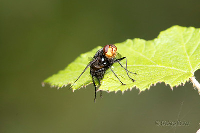 Snail-parasitic Blow-fly