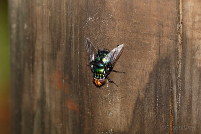 Yellow-headed Blowfly