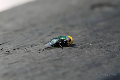 Orange-headed Blowfly