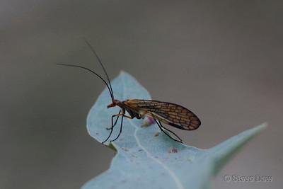 Autumn Scorpion Fly - Mecoptera