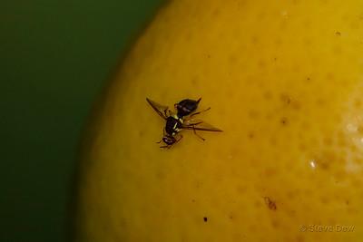 Queensland Fruit-fly