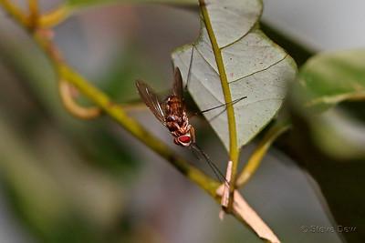 Long-legged Dexiin Fly
