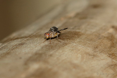 Tephritid or Fruit Fly