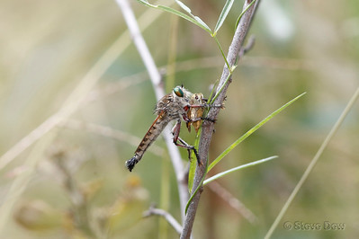 Robber Fly with Meal