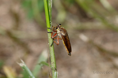 Robber Fly - Asilidae