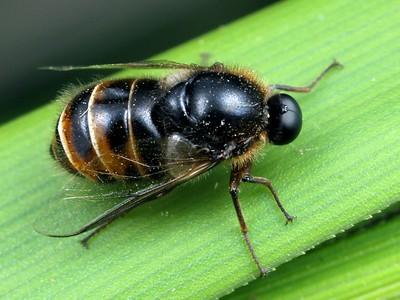 Acroceridae - Small-headed Flies