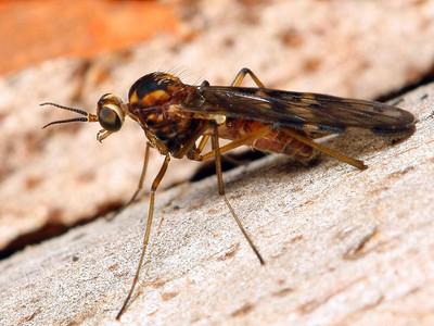 Anisopodidae