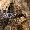 Sylvicola sp.
