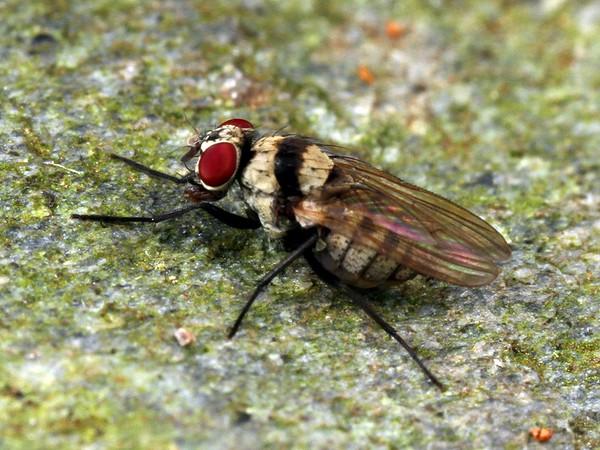 Anthomyia cf. bisetosa - Root Maggot Fly