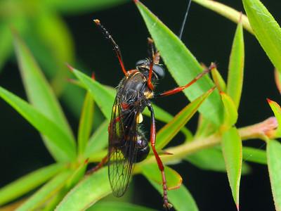 subfamily Brachyrhopalinae