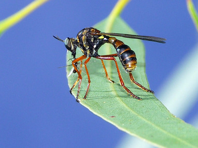 subfamily Dasypogoninae