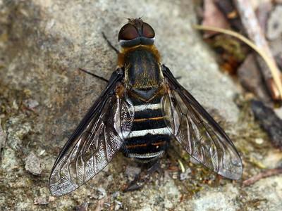 Bombyliidae - Bee Flies
