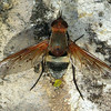 Ligyra pictipennis