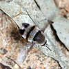 Meomyia sericans (male)