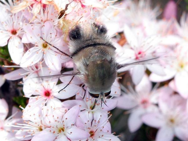 Meomyia sericans (female)