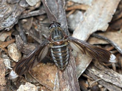 subfamily Lomatiinae