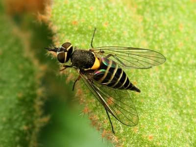 subfamily Phthiriinae