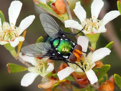 subfamily Ameniinae
