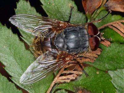 subfamily Calliphorinae