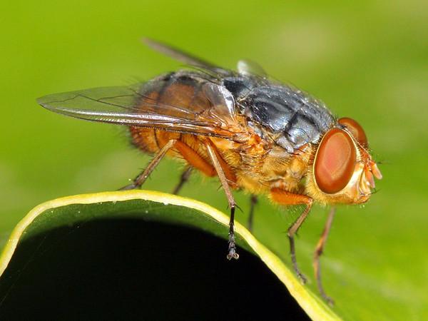 Calliphora sp.