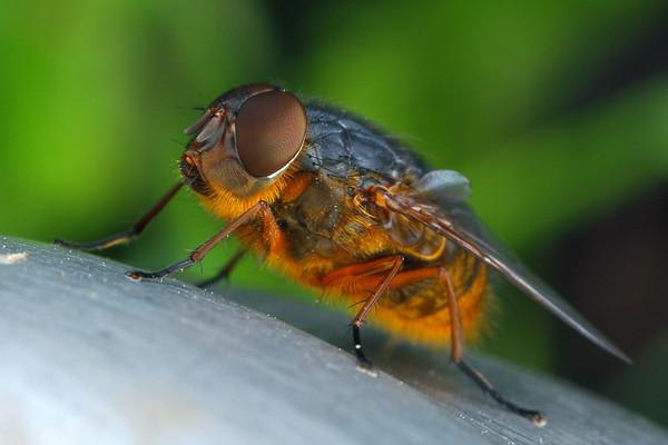 Calliphora augur - Lesser Bown Blowfly