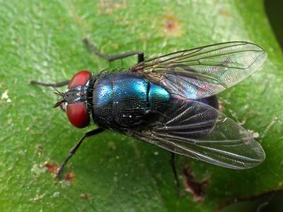 Calliphoridae - Blowflies