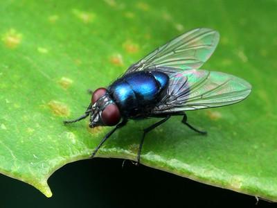 Unplaced Calliphoridae
