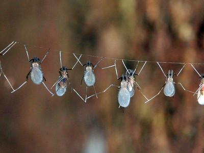 Cecidomyiidae