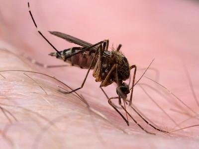 Culicidae - Mosquitos