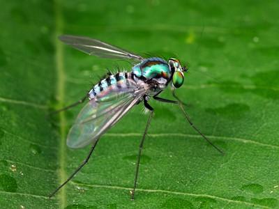Dolichopididae - Long-legged Flies
