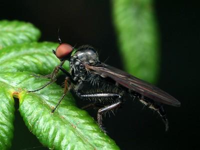 Hybotidae - Dance Flies