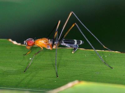 Micropezidae - Stilt-legged Flies