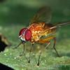 Dichaetomyia sp.