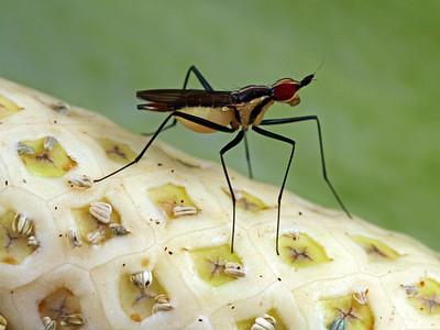 Neriidae - Banana Stalk Flies