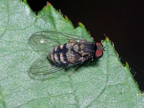 Lindneromyia sp.