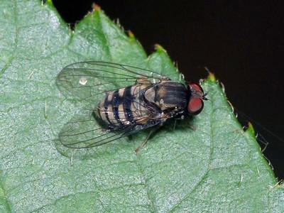 Platypezidae - Flat-footed Flies