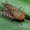 Euprosopia sp.