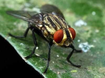 Sarcophagidae - Flesh Flies