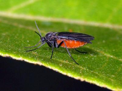 Sciaridae - Dark-winged Fungus Gnats