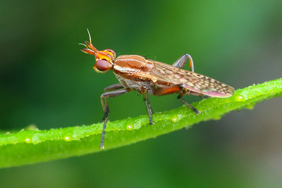 Sciomyzidae - Marsh Flies
