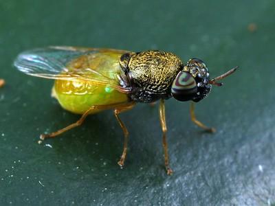 Stratiomyidae - Soldier Flies
