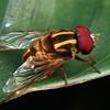Austalis conjuncta (male)