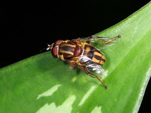 Austalis conjuncta (female)